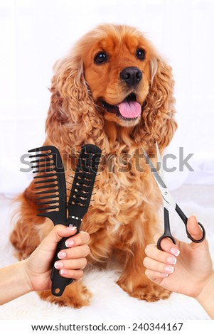 Cocker spaniel grooming at the salon for dogs - stock photo