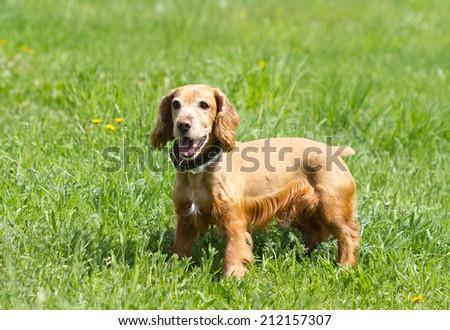 Cocker Spaniel on a green meadow - stock photo