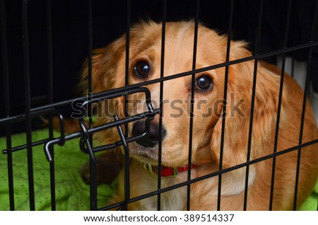 Cocker spaniel pup in her crate - stock photo