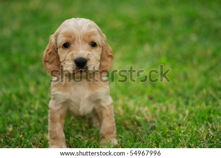 Cocker spaniel puppy - stock photo