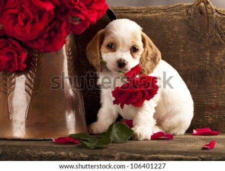 Cocker Spaniel puppy and flower red rose - stock photo