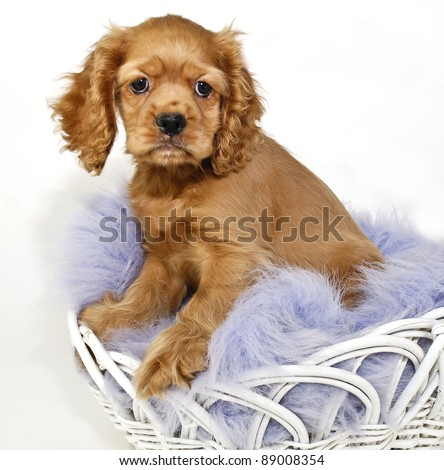 Cocker Spaniel Puppy sitting in a basket with a purple blanket on a white background. - stock photo