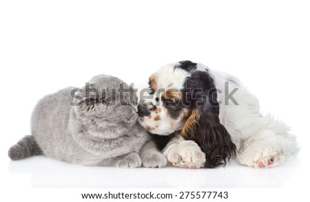 Cocker Spaniel puppy sniffing cat. isolated on white background - stock photo