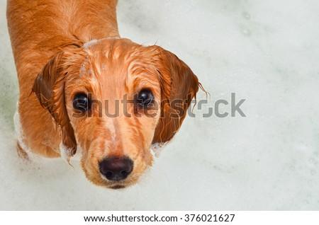 Cocker spaniel puppy taking a bath in bubbles - stock photo