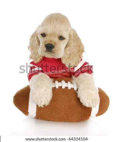 cocker spaniel puppy wearing red jersey with paws on football - stock photo