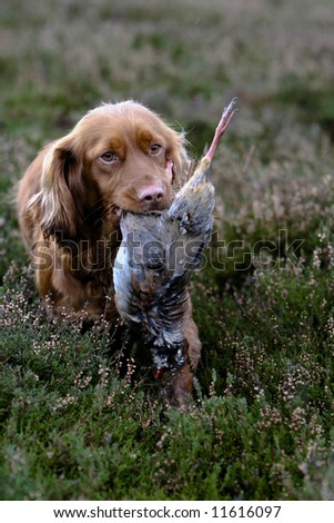 Cocker spaniel retrieves a partridge - stock photo