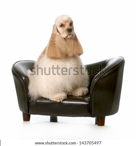 cocker spaniel - sitting on a couch isolated on white background - 2 years old - stock photo