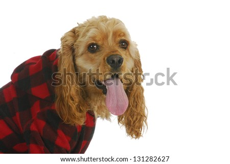 cocker spaniel wearing dog coat looking at viewer isolated on white background - stock photo