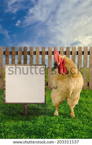 Cockerel standing beside the blank white advertisement - soft focus - stock photo
