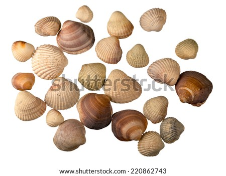 Cockle shells isolated on white background - stock photo
