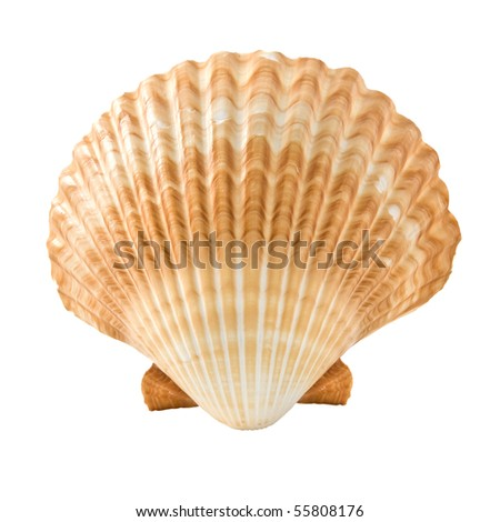 cockleshell isolated on white background - stock photo