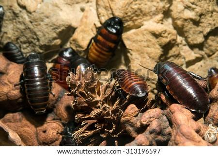 cockroach close up (Gromphadorhina portentosa) - stock photo
