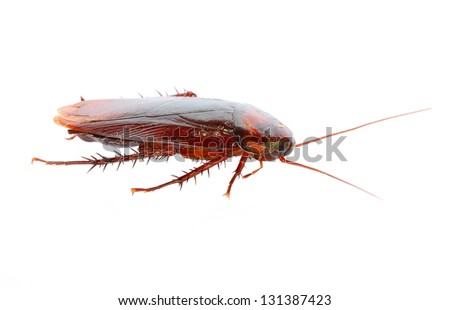 cockroach on white background - stock photo