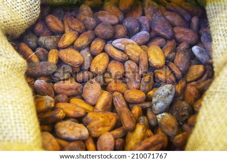Cocoa Beans before they are roasted. This is an important ingredient for chocolate.  - stock photo