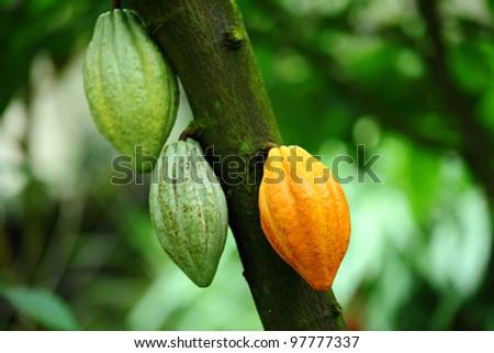 Cocoa pod - stock photo