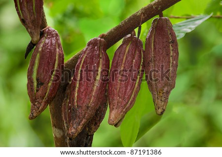 cocoa pods on a tree - stock photo