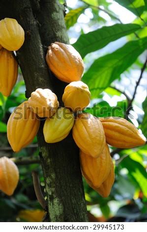 Cocoa pods on tree - stock photo