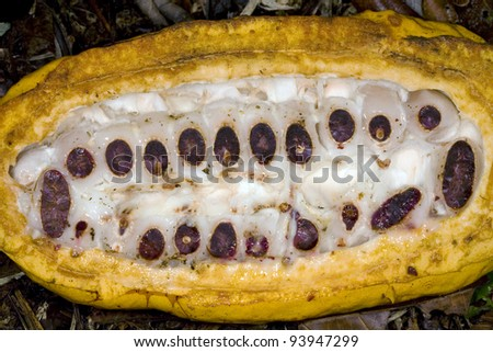 Cocoa pods (Theobroma cacao), opened cocoa pod showing beans inside. - stock photo