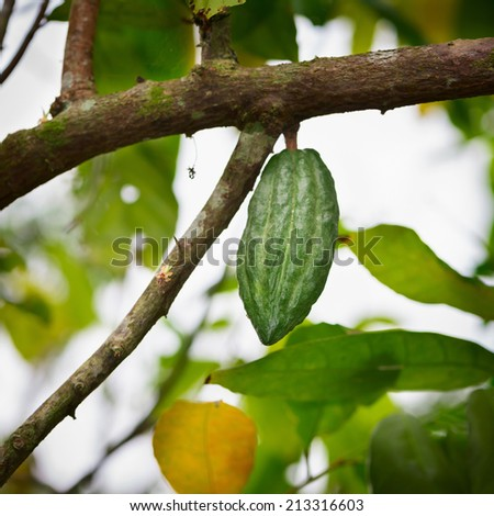 Cocoa tree (chocolate tree)  green with pod, Bali island, Indonesia  - stock photo