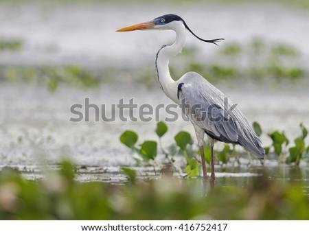 Cocoi Heron (Ardea cocoi) Standing in a Shallow Marsh - Panama - stock photo