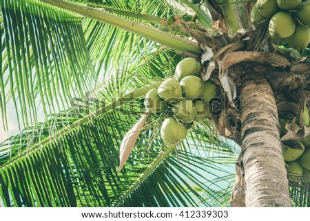 Coconut cluster on coconut tree , vintage tone - stock photo