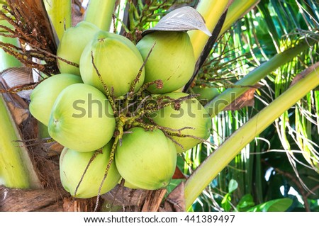 coconut cluster on the coconut tree - stock photo