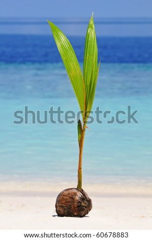 Coconut is sprouting up at the beach of uninhabited island against blue sea - stock photo