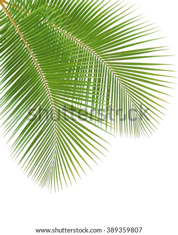 Coconut leaves isolated on white background - stock photo