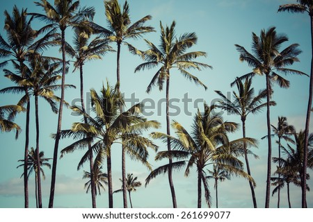 Coconut palm in Hawaii, USA. - stock photo