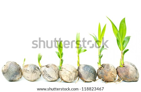 Coconut palm seedlings on a white background. - stock photo