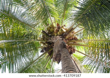 Coconut palm tree - stock photo