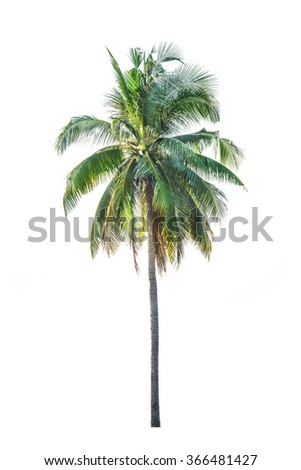 Coconut palm tree, Cocos Nucifera, with green leaves isolated  - stock photo