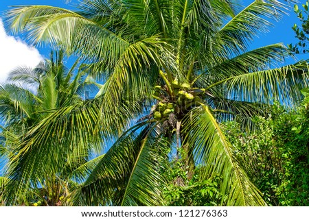 Coconut palm tree over blue sky - stock photo