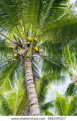 Coconut palm trees with green leaves and young orange coconuts, view from below - stock photo