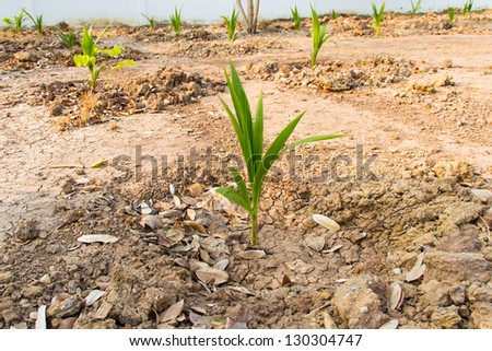 Coconut sprout in dry soil - stock photo