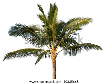 Coconut tree isolated (with clipping path) - stock photo