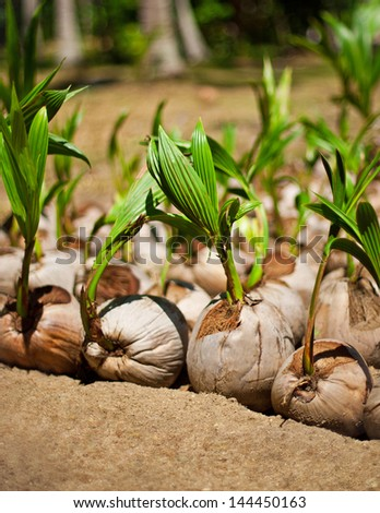 Coconut tree plantation - stock photo