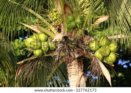 Coconuts. Coconut tree hanging on her ripe coconuts - stock photo