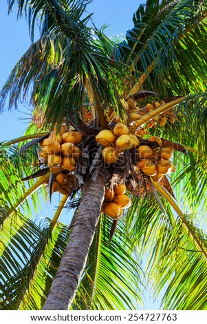 Coconuts on a palm tree on a sunny day - stock photo