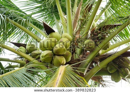 Coconuts on the palm tree - stock photo