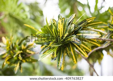 "Codiaeum motley is a perennial evergreen shrub, family Euphorbiaceae. Croton or ""coat of Joseph"". Motherland - the tropical jungles of Malaysia and Eastern India.  - stock photo"
