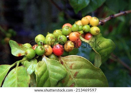 coffee bean on tree  - stock photo