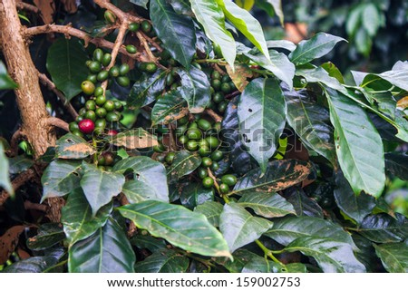 Coffee Beans on Bolaven Plateau in Laos - stock photo