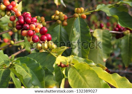 Coffee beans on the branch - stock photo
