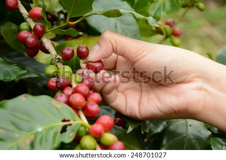 Coffee beans on the tree waiting for the store to make a drink. - stock photo