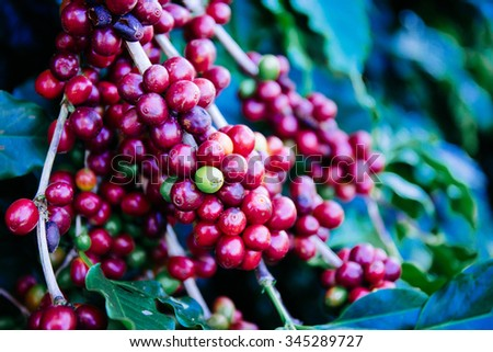 Coffee beans on the tree waiting for the store to make a drink - stock photo