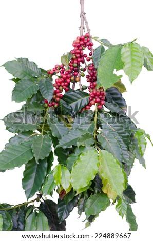 Coffee beans on tree - stock photo