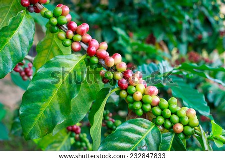 Coffee beans on trees close up. - stock photo