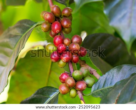 Coffee beans ripening on the branch in the twilight and blur background - stock photo