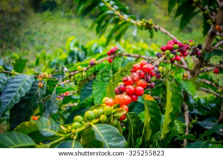 Coffee berries in farm and plantations in Manizales, Colombia - stock photo